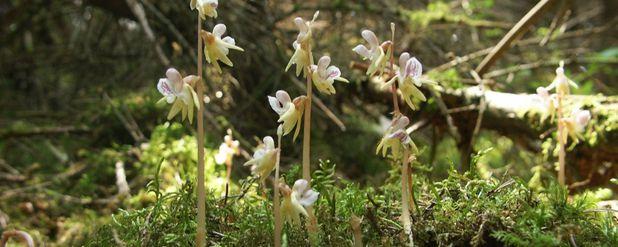 Yaşamının Çoğunu Yeraltında Geçiren ve Çok Nadir Görülen Bir Bitki Türü: Hayalet Orkide