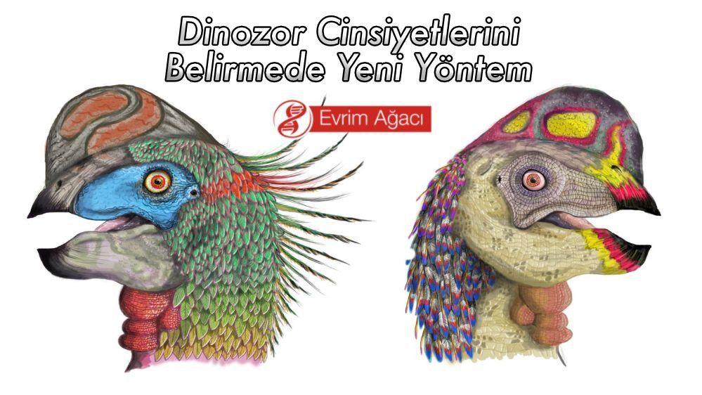 Dinozorlarda Eşeysel Dimorfizm: Erkek ve Dişi Dinozorları Ayırt Edebilir miyiz?
