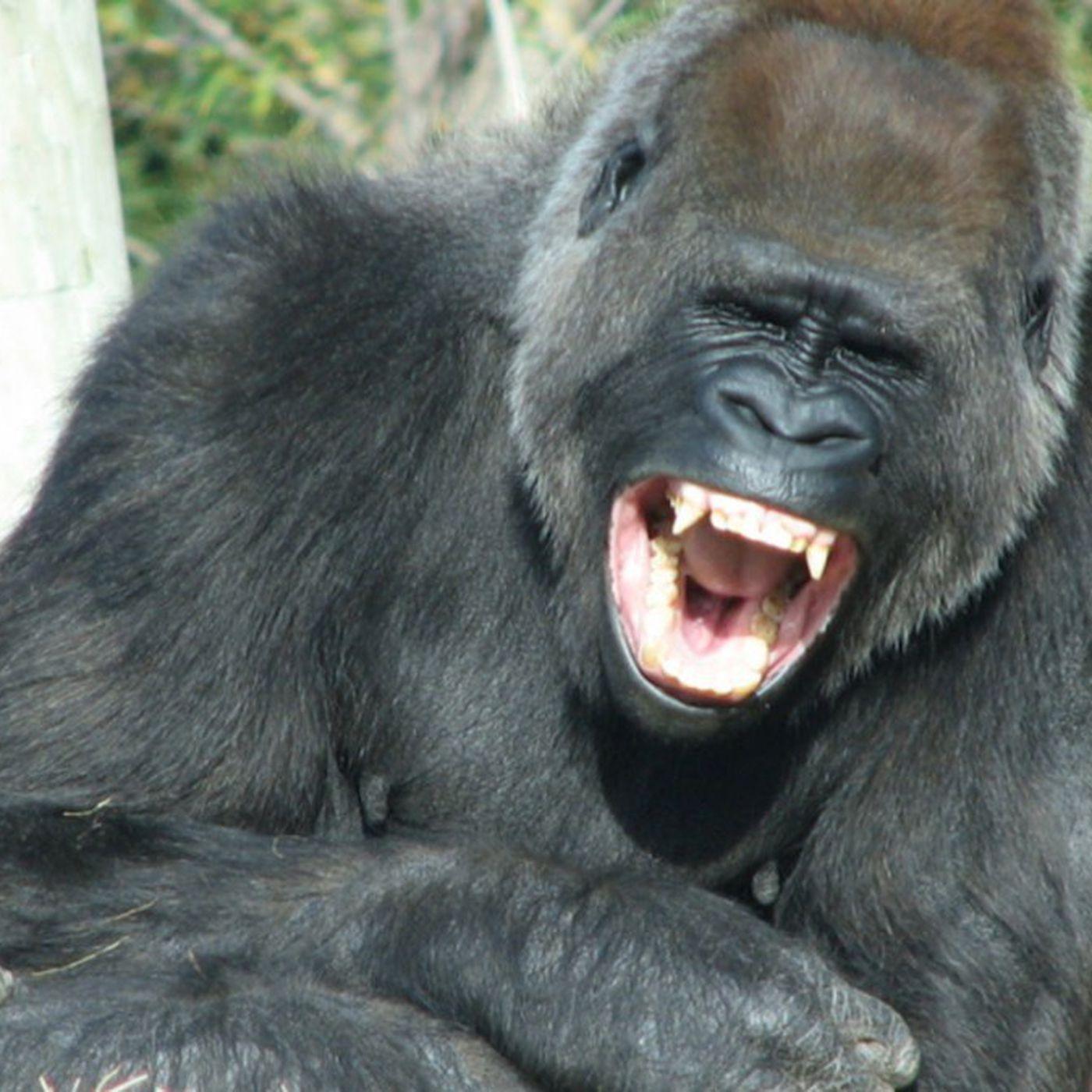 Mizahın ve Kahkahanın Evrimi: Maymun Homurdanmaları, Esprilere ve Kahkahalara Nasıl Dönüştü?