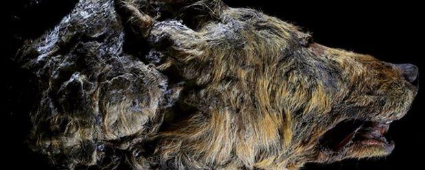 Sibirya'da 40 Bin Yıllık Çok İyi Korunmuş Dev Kurt Fosili Bulundu!