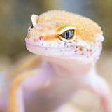 Gecko Masturbator