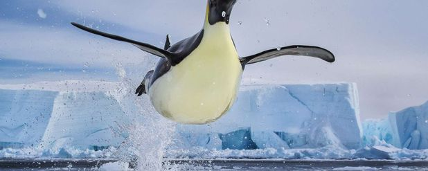 Penguenler Neden Uçamıyor? Uçma Yeteneklerini Neden Yitirdiler?