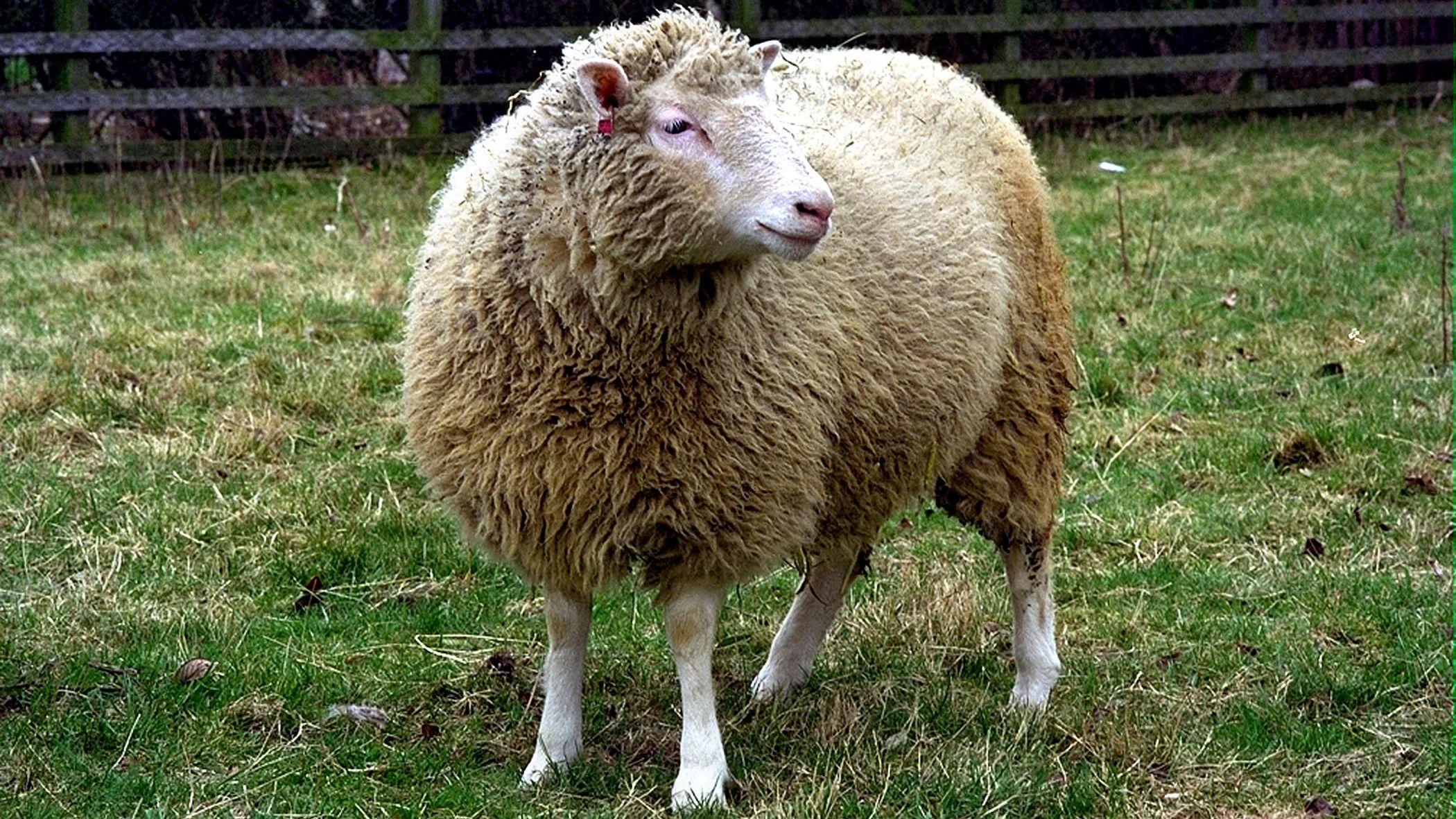 koyun dolly ile ilgili görsel sonucu