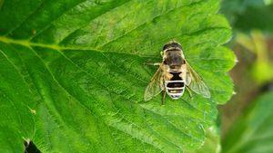 Çiçek Sinekleri (Syrphidae)