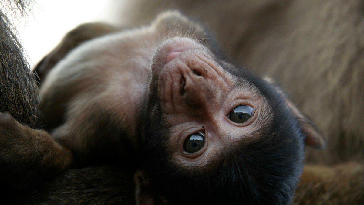 İnsanın Yaşayan En Yakın Akrabaları: Primat Nedir? - Evrim Ağacı