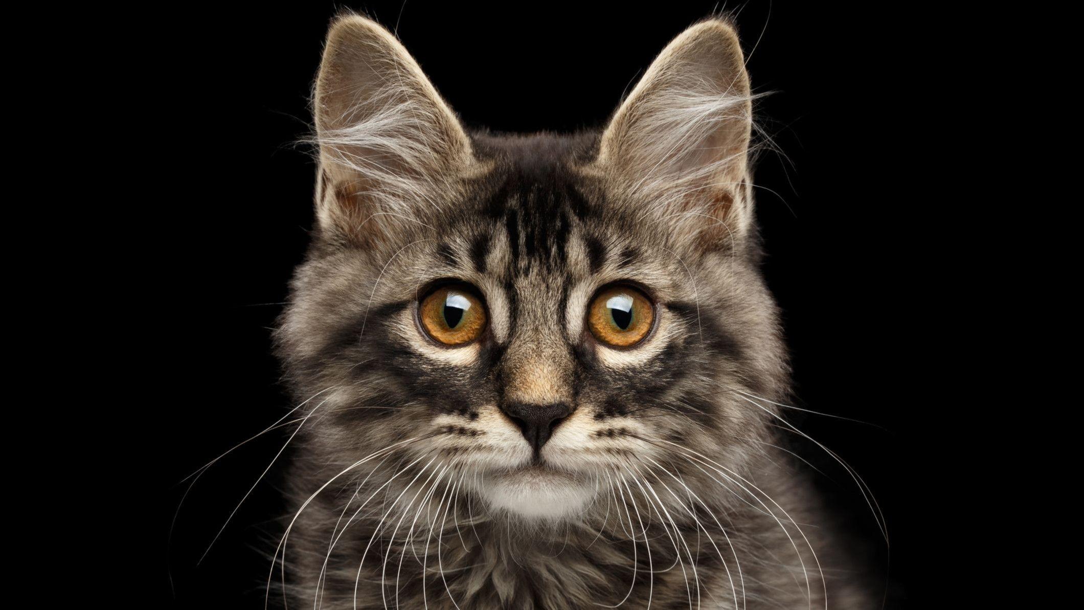 Kedinizin Taşıdığı Parazit, Beyninizi ve Cinsel Dürtülerinizi Nasıl Kontrol Ediyor? - Evrim Ağacı