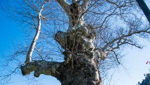 Doğu çınarı (Platanus orientalis)