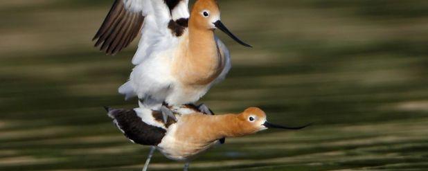Kloak Nedir? Penissiz Kuşlar Nasıl Çiftleşiyorlar?