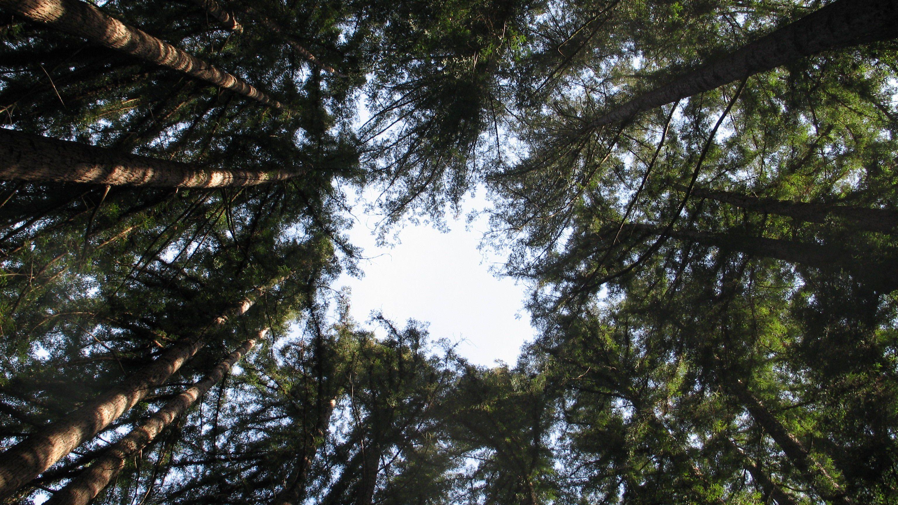 Ağaçlar Neden ve Nasıl Evrimleşti? Devasa Boyutlara Ulaşmayı Nasıl Başardılar?