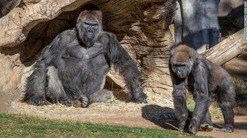 Gorillere SARS-CoV-2 Bulaşabiliyor: İnsan Harici Primatlarda İlk Defa COVID-19 Görüldü!