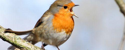 Kuşlarda Ötüş Becerisi, Doğumdan Yetişkinliğe Kadar Nasıl Gelişir?